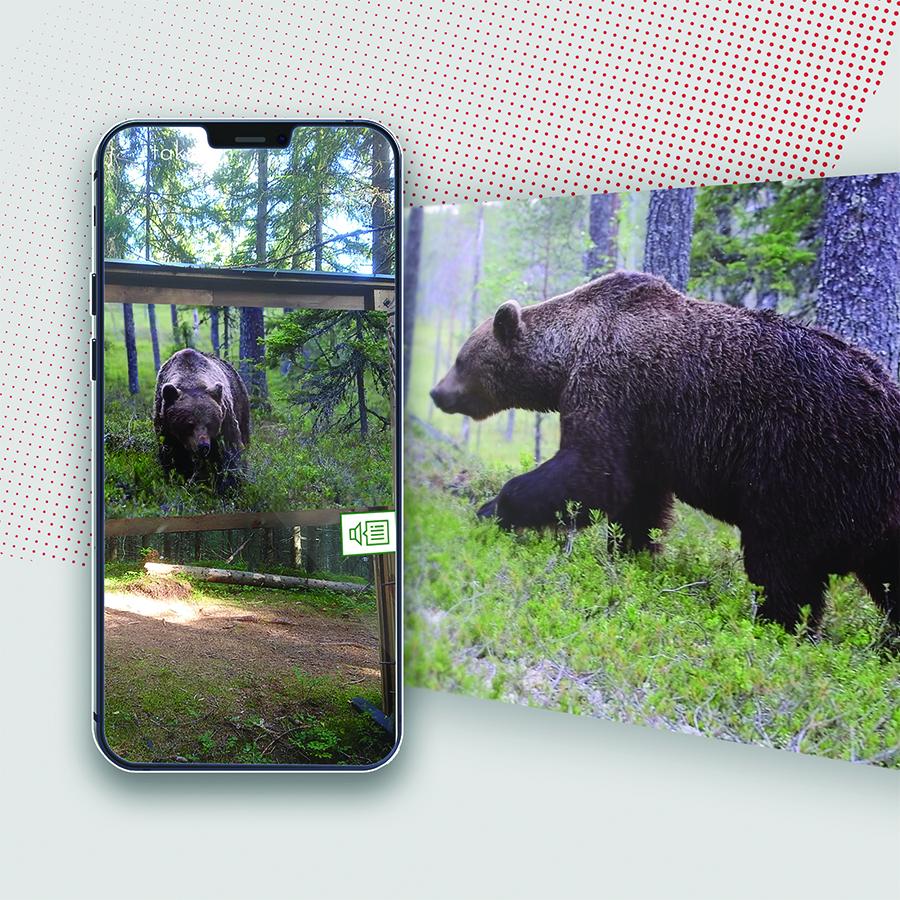 Puijo Peak: Suomen eläimet AR-kierros: karhu AR-sovelluksessa.